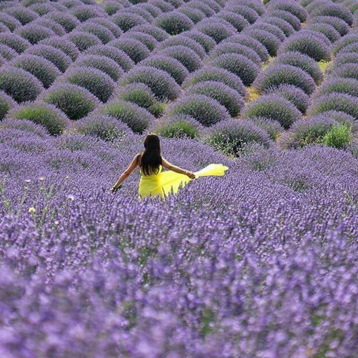 A Day in the Lavender Field